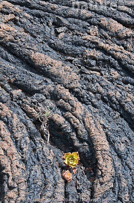 Aeonium growing on rope lava formation. Lanzarote, Canary Islands, July.  ,  COLONISATION,CRASSULACEAE,DICOTYLEDONS,GEOLOGY,GROWTH,LAVA,NORTH AMERICA,PLANTS,ROCKS,SUCCULENT,USA,VERTICAL,Concepts  ,  Adrian Davies