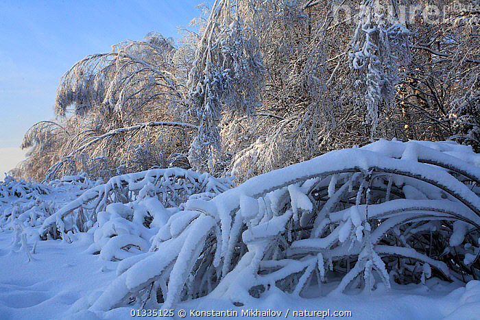 "Forest trees bending over with weight of ice after ""ice rain"" phenomenon and several snowfalls, many trees have been broken and bent up to the ground as result of increased weight of the crowns. January 2011. Central part of Russia, Moscow Region.  ,  COLD,EUROPE,ICE,LANDSCAPES,RAIN,RUSSIA,RUSSIAN,SNOW,SNOWFALL,TREES,WEATHER,WINTER,WOODLANDS,PLANTS  ,  Konstantin Mikhailov"