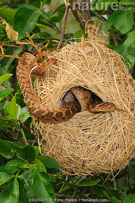 Nature Picture Library Rhombic Egg Eating Snake Dasypeltis Scabra