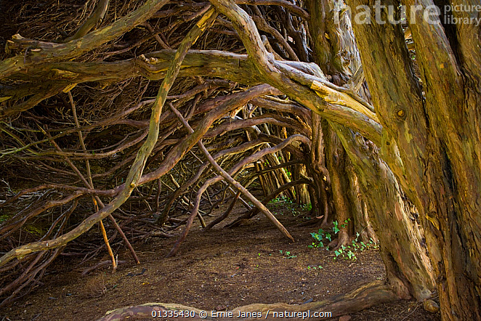 Interior of ancient Yew hedge (Taxus baccata), UK  ,  BRANCHES,EUROPE,GARDENS,HEDGES,LARGE,OLD,TREES,UK,PLANTS,United Kingdom  ,  Ernie Janes