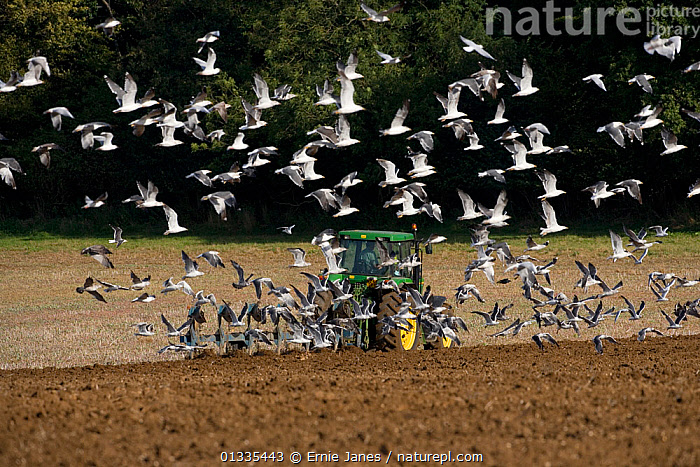 Large flock of Seagulls following a tractor ploughing, Upper Gade Valley, Chilterns, Hertfordshire, UK, autumn  ,  AGRICULTURE,BIRDS,CROPS,EUROPE,FARMLAND,FLOCKS,FLYING,GULLS,MACHINERY,MASS,PLOUGH,SEAGULL,UK,WHITE,United Kingdom  ,  Ernie Janes