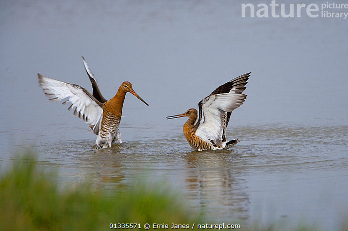Black-tailed godwit (Limosa limosa) fighting, summer plumage, Norfolk, UK, July, AGGRESSION,BEHAVIOUR,BIRDS,COASTS,EUROPE,FIGHTING,SALTMARSHES,SCOLOPACIDAE,TWO,UK,VERTEBRATES,WATER,United Kingdom, Ernie Janes