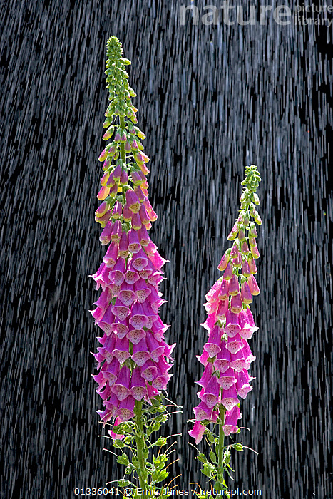 Common foxglove (Digitalis purpurea) flowers, UK  ,  bad weather,catalogue4,close up,DICOTYLEDONS,downpour,EUROPE,flower,FLOWERS,Foxglove,nature,Nobody,PINK,plantlife,PLANTS,PURPLE,RAIN,RAINING,resilience,SCROPHULARIACAEA,side by side,two,two objects,UK,VERTICAL,Weather,United Kingdom  ,  Ernie Janes