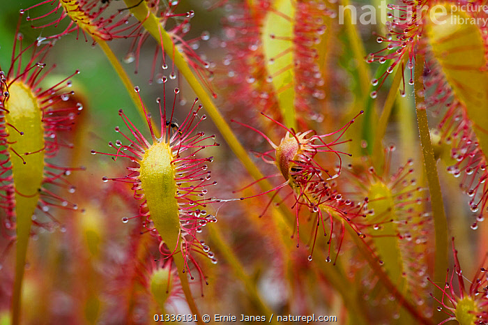 Great Sundew (Drosera anglica) with captured fly, North Norfolk, UK, June  ,  AQUATIC,CARNIVOROUS,CLOSE UPS,DICOTYLEDONS,DIPTERA,DROSERACEAE,ENGLAND,EUROPE,FLIES,FLYTRAP,INSECTS,PLANTS,RED,STICKY,UK,WATER,Invertebrates,United Kingdom  ,  Ernie Janes
