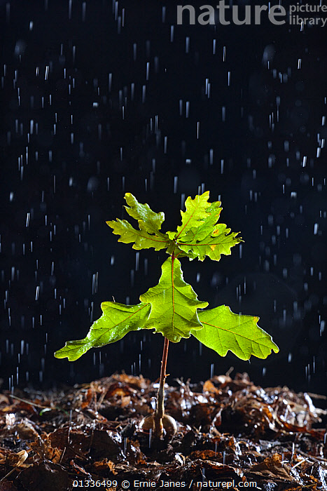 Seedling English oak tree (Quercus robur) in the rain, UK, backlit,bad weather,catalogue4,close up,CUTOUT,DICOTYLEDONS,ENGLAND,EUROPE,FAGACEAE,GREEN,GROWTH,LEAVES,MACRO,nature,new life,Nobody,OAK TREE ,optimism,plantlife,PLANTS,RAIN,RAINING,resilience,seedling,TREES,UK,VERTICAL,WATER,watering,WEATHER,Concepts,United Kingdom, Ernie Janes