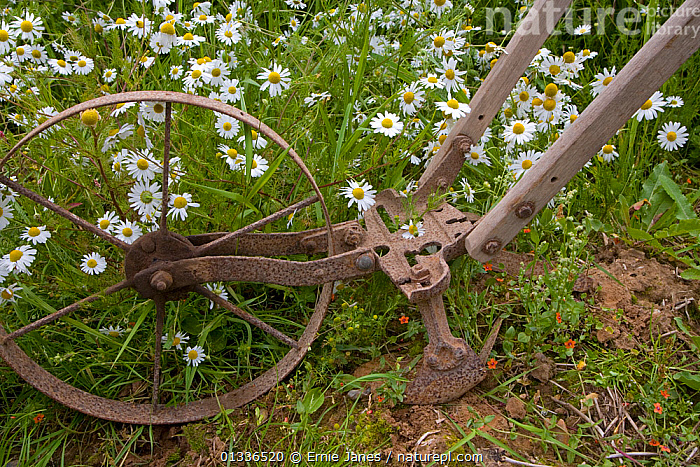 Traditional farm equipment, old hoe for digging up beet, Norfolk, UK  ,  ENGLAND,EUROPE,FLOWERS,HARVESTING,HISTORIC,MACHINERY,RUSTED,TRADITIONAL,UK,United Kingdom  ,  Ernie Janes