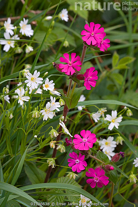 Nature Picture Library Red Campion Silene Dioica And Stitchwort