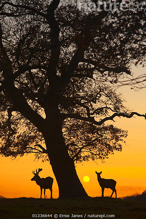 RF- Silhouette of Red deer (Cervus elaphus) stag and hind by tree at sunset, Norfolk, UK. (This image may be licensed either as rights managed or royalty free.), ARTIODACTYLA,Cervidae,DEER,EUROPE,MALE-FEMALE-PAIR,MAMMALS,SILHOUETTES,SUNSET,TREES,two,UK,VERTEBRATES,,CERVUS ELAPHUS,Animal,Vertebrate,Mammal,Deer,Red Deer,Animalia,Animal,Wildlife,Vertebrate,Mammalia,Mammal,Artiodactyla,Even-toed ungulates,Cervidae,Deer,True deer,ruminantia,Ruminant,Cervus,Cervus elaphus,Red Deer,Wapiti,Colour,Yellow,Below,Two,Nobody,Europe,Western Europe,UK,Great Britain,England,Norfolk,Back Lit,Female animal,Doe,Does,Male Animal,Stag,Stags,Plant,Tree,Sky,Sunset,Setting Sun,Sunsets,Outdoors,Winter,Nature,Wild,Silhouette,Dusk,Two animals,Hind,Hinds,RF,Royalty free,RFCAT1,RF17Q1, Ernie  Janes