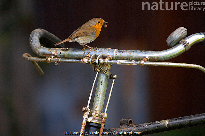 Robin (Erithacus rubecula) perched on bicycle, UK, BICYCLE,BIRDS,CYCLING,EUROPE,FEEDING,GARDENS,MUSCICAPIDAE,SONGBIRDS,UK,URBAN,VERTEBRATES,United Kingdom, Ernie Janes