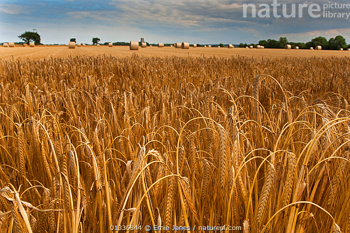 RF- Ripe crop of Barley (Hordeum vulgare) ready for harvesting. Northrepps, Norfolk, UK, July. (This image may be licensed either as rights managed or royalty free.), CLOUDS,CROPS,ENGLAND,EUROPE,FARMLAND,GRAMINEAE,GRASSES,LANDSCAPES,MONOCOTYLEDONS,PLANTS,POACEAE,SUMMER,,HORDEUM VULGARE,Plant,Vascular plant,Flowering plant,Monocot,Grass,Barley,Plantae,Plant,Tracheophyta,Vascular plant,Magnoliopsida,Flowering plant,Angiosperm,Seed plant,Spermatophyte,Spermatophytina,Angiospermae,Poales,Monocot,Monocotyledon,Lilianae,Poaceae,Grass,True grass,Gramineae,Hordeum,Barley,Hordeum vulgare,Cereal barley,Common barley,Two rowed barley,Abundance,Distant,Nobody,Europe,Western Europe,UK,Great Britain,England,Norfolk,Camera Focus,Selective Focus,Focus On Foreground,Crops,Produce,Cultivated,Ripe,Hay,Cultivated Land,Outdoors,Farmland,Shallow depth of field,Low depth of field,Hay Bale,RF,Royalty free,RFCAT1,RF17Q1,, Ernie  Janes