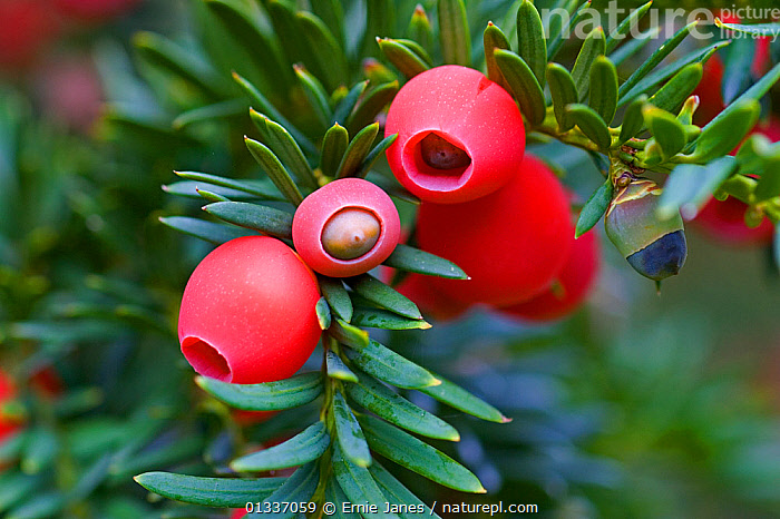 Berries of the Common yew tree (Taxus baccata) UK  ,  BERRIES,CONIFERS,ENGLAND,EUROPE,GYMNOSPERMS,PLANTS,POISONOUS,RED,TAXACEAE,UK,United Kingdom  ,  Ernie Janes