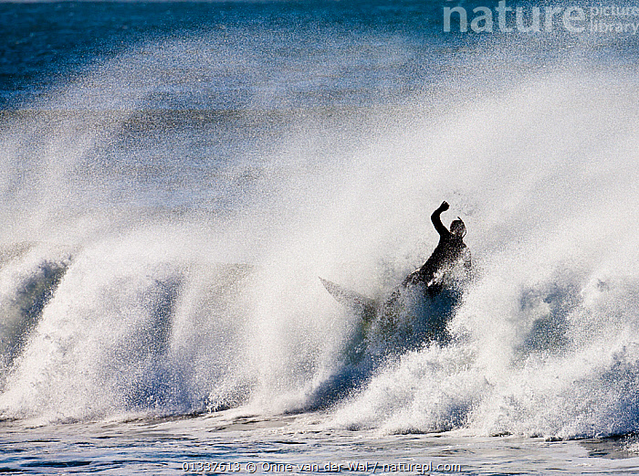 Surfer in impressive surf off the coast of Newport as Hurricane Igor passes Rhode Island, USA, September 2010.  ,  BIG,BRAVE,BREAKING,CONCEPTS,DANGEROUS,EXTREME,NORTH AMERICA,PEOPLE,POWERFUL,SPORTS,SPRAY,SURFING,USA,WATERSPORTS,WAVES,WEATHER,WIPEOUT,WIPE OUT  ,  Onne van der Wal