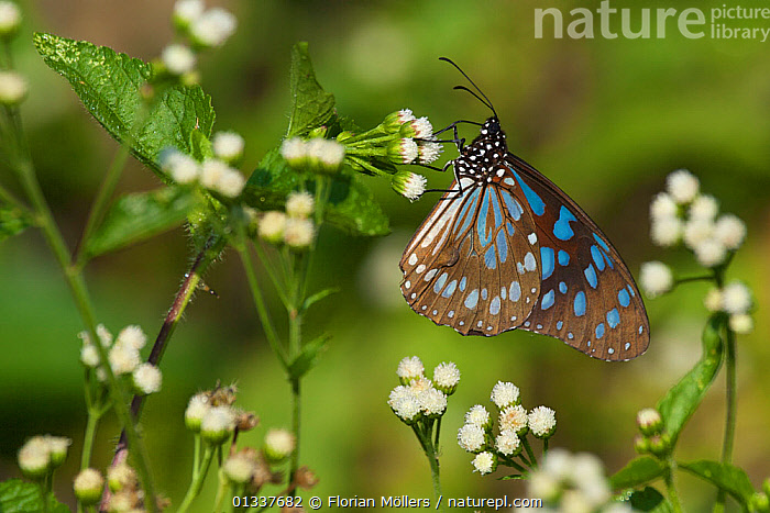Male African Blue Tiger butterfly (Tirumala (Danaus) petiverana) feeding at flowering plant, Budongo Forest Reserve, Masindi, Uganda, Africa.  ,  BUTTERFLIES,EAST AFRICA,FEEDING,FLOWERS,INSECTS,INVERTEBRATES,LEPIDOPTERA,NYMPHALIDAE,RESERVE,Big Cats  ,  Florian Möllers
