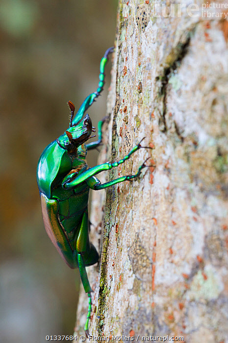 Flower chafer beetle (Taurhina stanleyissp. stanleyi) on rainforest tree. Budongo Forest Reserve, Masindi, Uganda, Africa.  ,  AFRICA, BEETLES, CHAFERS, COLEOPTERA, EAST-AFRICA, GREEN, INSECTS, INVERTEBRATES, PROFILE, Scarabaeidae, TROPICAL-RAINFOREST  ,  Florian Möllers