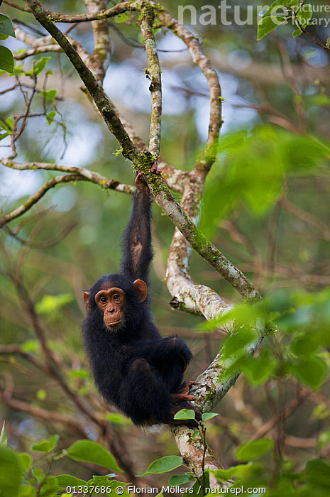 "Youg chimpanzee (Pan troglodytes schweinfurthii) ""Night"" (female, 3 years) resting in tree, holding on with arm, Budongo Forest Reserve, Masindi, Uganda, Africa. December  ,  AFRICA,BRACHIATION,CHIMP ,EAST AFRICA,ENDANGERED,FEMALES,GREAT APES,HOMINIDAE,JUVENILE,MAMMALS,PRIMATES,RESERVE,TROPICAL RAINFOREST,VERTEBRATES,VERTICAL  ,  Florian Möllers"