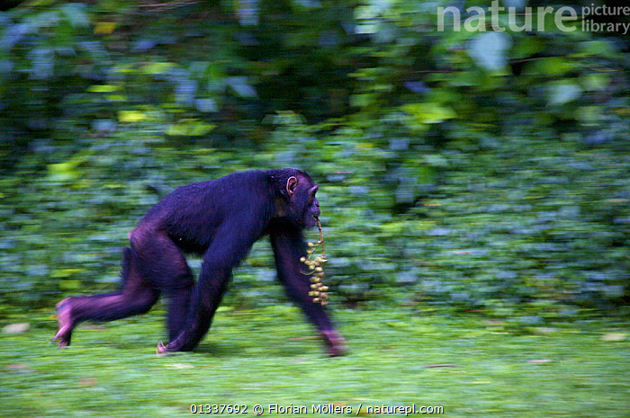 "Subadult Chimpanzee (Pan troglodytes schweinfurthii) male ""Musa"" crossing rainforest clearing carrying figs in his mouth. Budongo Forest Reserve, Masindi, Uganda, Africa. December  ,  AFRICA,BEHAVIOUR,CHIMP ,EAST AFRICA,ENDANGERED,GREAT APES,HOMINIDAE,KNUCKLE WALKING,MALES,MAMMALS,PRIMATES,RESERVE,TROPICAL RAINFOREST,VERTEBRATES,WALKING  ,  Florian Möllers"