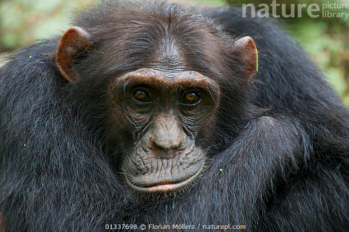 "Subadult Chimpanzee (Pan troglodytes schweinfurthii) male ""Musa"" (15 years) sitting on fallen rainforest tree, close-up, portrait. Budongo Forest Reserve, Masindi, Uganda, Africa. December  ,  AFRICA,CHIMP ,EAST AFRICA,ENDANGERED,EXPRESSIONS,FACES,GREAT APES,HOMINIDAE,MALES,MAMMALS,PRIMATES,RESERVE,TROPICAL RAINFOREST,VERTEBRATES  ,  Florian Möllers"