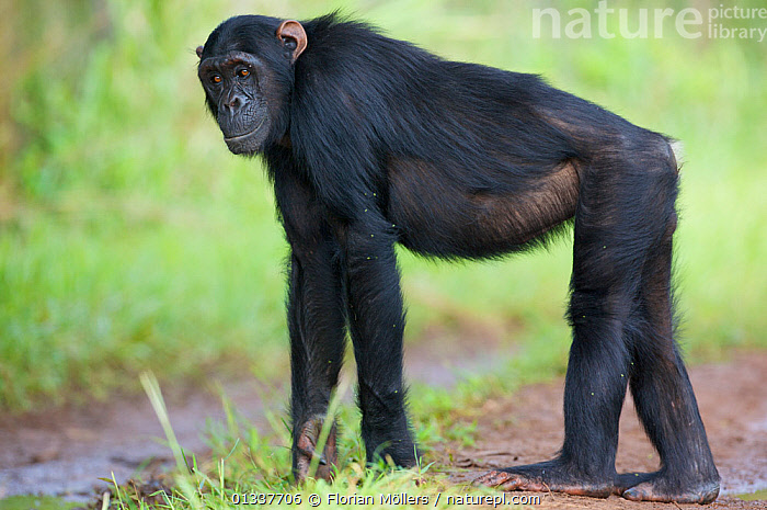 "Subadult male Chimpanzee (Pan troglodytes schweinfurthii) ""Hawa"" (13 years). Budongo Forest Reserve, Masindi, Uganda, Africa. December  ,  AFRICA,CHIMP ,EAST AFRICA,ENDANGERED,GREAT APES,HOMINIDAE,KNUCKLE WALKING,MALES,MAMMALS,PRIMATES,PROFILE,RESERVE,TROPICAL RAINFOREST,VERTEBRATES,WALKING  ,  Florian Möllers"