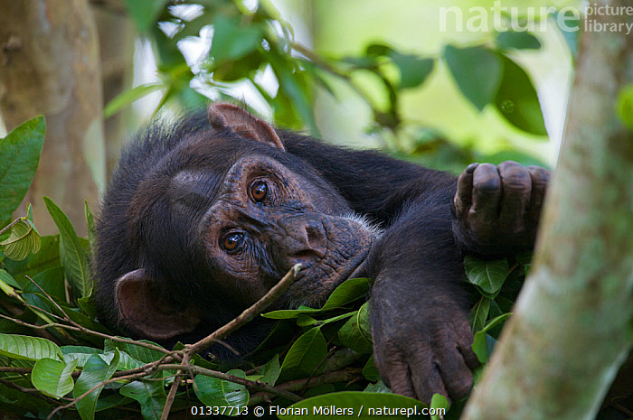 "Subadult male Chimpanzee (Pan troglodytes schweinfurthii) ""Bob"" (16 years) in his sleeping nest. Budongo Forest Reserve, Masindi, Uganda, Africa. december  ,  AFRICA,CHIMP ,EAST AFRICA,ENDANGERED,GREAT APES,HOMINIDAE,MALES,MAMMALS,NESTS,PRIMATES,RESERVE,RESTING,SLEEPING,TREES,TROPICAL RAINFOREST,VERTEBRATES,PLANTS  ,  Florian Möllers"
