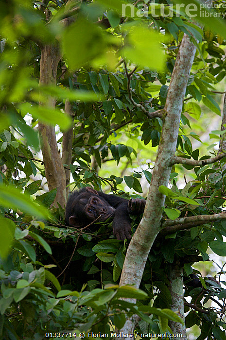"Subadult male Chimpanzee (Pan troglodytes schweinfurthii) ""Bob"" (16 years) in his sleeping nest. Budongo Forest Reserve, Masindi, Uganda, Africa. December  ,  AFRICA,CHIMP ,EAST AFRICA,ENDANGERED,GREAT APES,HOMINIDAE,MALES,MAMMALS,NESTS,PRIMATES,RESERVE,RESTING,SLEEPING,TREES,TROPICAL RAINFOREST,VERTEBRATES,VERTICAL,PLANTS  ,  Florian Möllers"