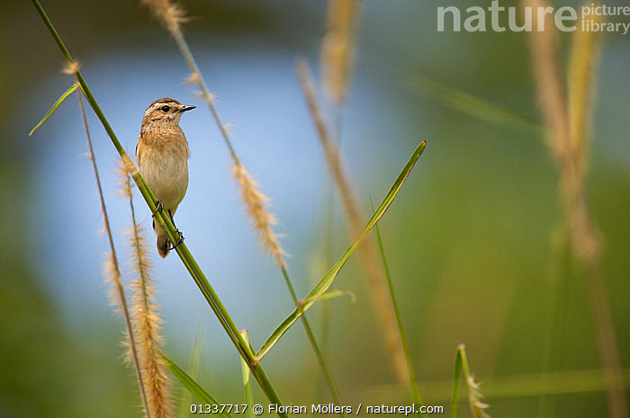 Wintering male Whinchat (Saxicola rubetra). Budongo Forest Reserve, Masindi, Uganda, Africa. December  ,  AFRICA,BIRDS,CHATS,EAST AFRICA,MALES,MIGRATION,RESERVE,VERTEBRATES,VERTICAL  ,  Florian Möllers