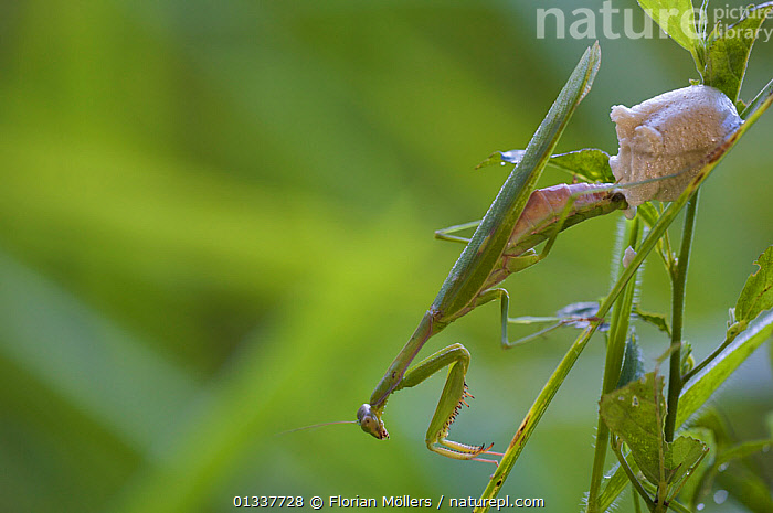 Praying mantis (Mantidae) female producing ootheca (eggs) in high grass. Budongo Forest Reserve, Masindi, Uganda, Africa. December  ,  AFRICA,ARTHROPODS,BEHAVIOUR,EAST AFRICA,EGGS,FEMALES,INSECTS,INVERTEBRATES,MANTIDS,MANTODEA,REPRODUCTION,RESERVE,TROPICAL RAINFOREST  ,  Florian Möllers