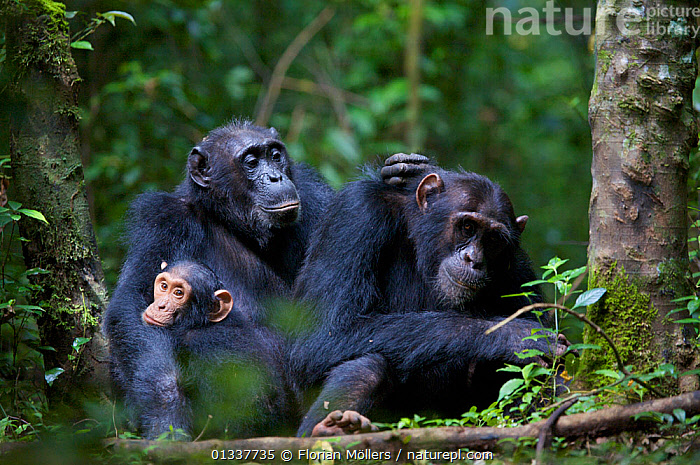 "Female Chimpanzee (Pan troglodytes schweinfurthii) ""Nambi"" (44+ years) grooming her son ""Musa"" (15 years), daughter ""Night"" (3 years) sitting close-by. Budongo Forest Reserve, Masindi, Uganda, Africa. December  ,  AFRICA,BABIES,CHIMP ,EAST AFRICA,ENDANGERED,FAMILIES,GREAT APES,GROOMING,HOMINIDAE,INTERACTION,JUVENILE,MAMMALS,PRIMATES,RESERVE,THREE,TROPICAL RAINFOREST,VERTEBRATES  ,  Florian Möllers"