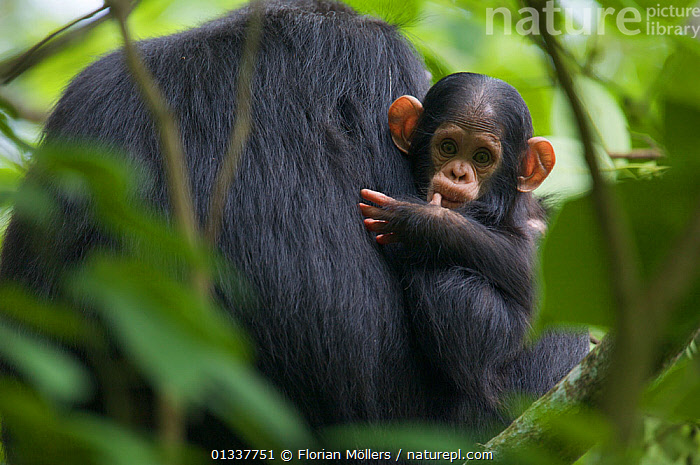 "Baby male Chimpanzee (Pan troglodytes schweinfurthii) ""Klauce"" (4 months) in the arm of his mother ""Kalema"". Budongo Forest Reserve, Masindi, Uganda, Africa. December  ,  AFRICA,BABIES,CHIMP ,CHIMPS,CUTE,EAST AFRICA,ENDANGERED,FAMILIES,GREAT APES,HOMINIDAE,MAMMALS,MOTHER BABY,PRIMATES,RESERVE,TROPICAL RAINFOREST,VERTEBRATES  ,  Florian Möllers"
