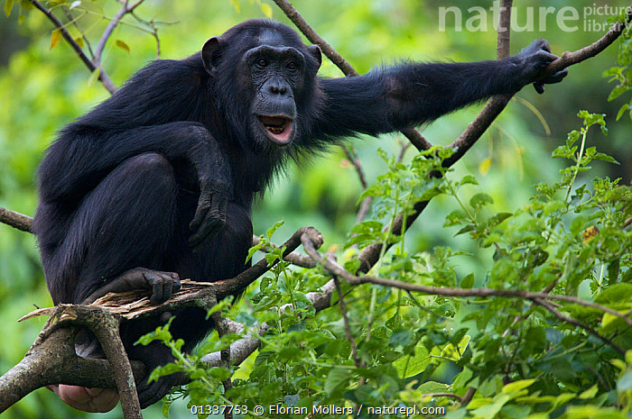 "Female Chimpanzee (Pan troglodytes schweinfurthii) ""Juliet"" (16 years) with large genital swelling, calling. Budongo Forest Reserve, Masindi, Uganda, Africa. December  ,  AFRICA,CHIMP ,CHIMPS,EAST AFRICA,ENDANGERED,GREAT APES,HOMINIDAE,MALES,MAMMALS,PRIMATES,RESERVE,SEX ORGANS,TROPICAL RAINFOREST,VERTEBRATES,VOCALISATION  ,  Florian Möllers"