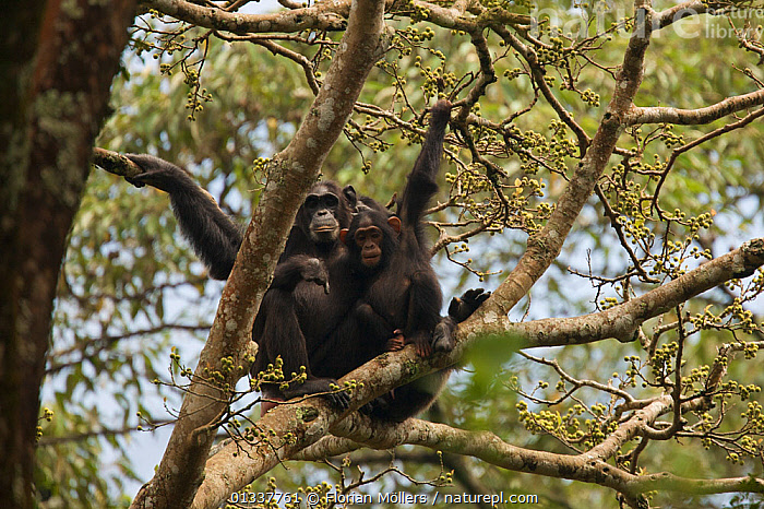 """Female Chimpanzee (Pan troglodytes schweinfurthii) """"Kewaya"""" (23 years) with mutilated hand and foot. Budongo Forest Reserve, Masindi, Uganda, Africa.  ,  AFRICA,CHIMP ,CHIMPS,EAST AFRICA,ENDANGERED,FAMILIES,FEMALES,GREAT APES,HOMINIDAE,LOW ANGLE SHOT,MAMMALS,PRIMATES,RESERVE,TROPICAL RAINFOREST,VERTEBRATES,WOUNDED  ,  Florian Möllers"""