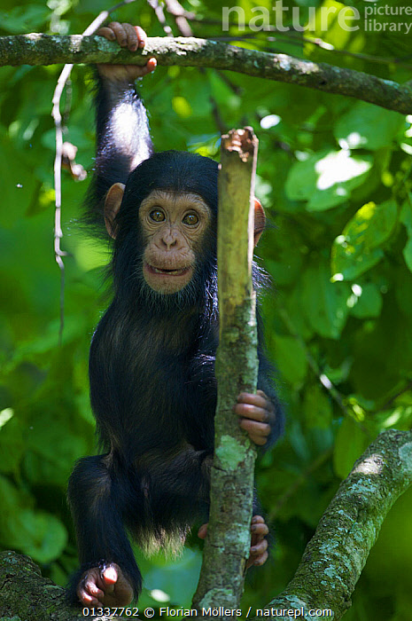 "Baby Chimpanzee (Pan troglodytes schweinfurthii) ""James"" (1 month) playing in a tree. Budongo Forest Reserve, Masindi, Uganda, Africa. december  ,  AFRICA,BABIES,CHIMP ,CHIMPS,CUTE,EAST AFRICA,ENDANGERED,GREAT APES,HOMINIDAE,MAMMALS,PRIMATES,RESERVE,TROPICAL RAINFOREST,VERTEBRATES,VERTICAL  ,  Florian Möllers"
