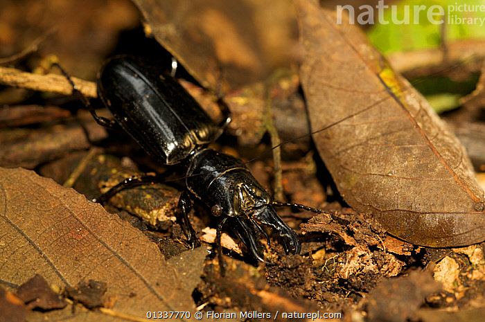 Nature Picture Library - Large black ground beetle