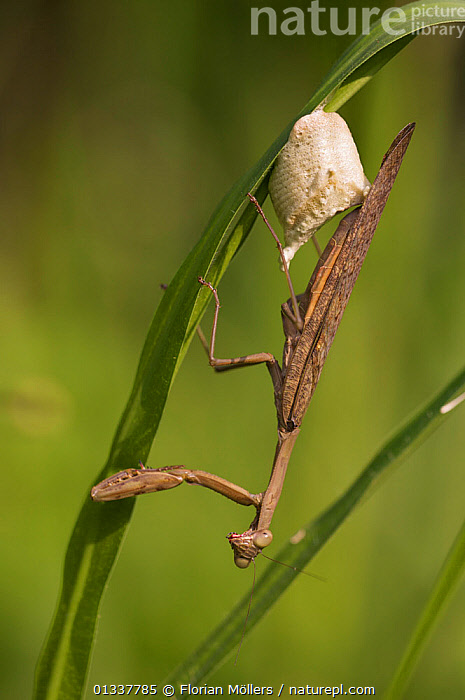 Brown Mantis placing ootheca on grass. Budongo Forest Reserve, Masindi, Uganda, Africa. December  ,  ARTHROPODS,EAST AFRICA,EGGS,INSECTS,INVERTEBRATES,MANTIDS,MANTODEA,REPRODUCTION,RESERVE  ,  Florian Möllers