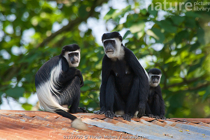 Three Black and white colobus monkeys / Guerezas (Colobus guereza) on the roof of a house of the abandoned Budongo Sawmill. Budongo Forest Reserve, Masindi, Uganda, Africa, Decmember  ,  BUILDINGS,COLOBUS MONKEYS,EAST AFRICA,GROUPS,MAMMALS,MONKEYS,PRIMATES,RESERVE,SMALL GROUP,THREE,VERTEBRATES  ,  Florian Möllers