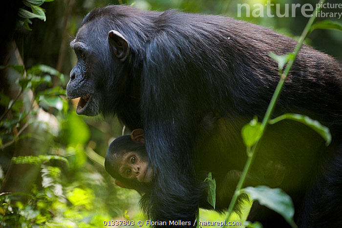 "Female Chimpanzee (Pan troglodytes schweinfurthii) ""Kalema"" with her baby ""Klauce"", calling, hooting. Budongo Forest Reserve, Masindi, Uganda, Africa. December  ,  AFRICA,BABIES,BEHAVIOUR,CARRYING,CHIMP ,CHIMPS,EAST AFRICA,ENDANGERED,GREAT APES,HOMINIDAE,MAMMALS,MOTHER BABY,PRIMATES,RESERVE,TROPICAL RAINFOREST,VERTEBRATES,VOCALISATION  ,  Florian Möllers"