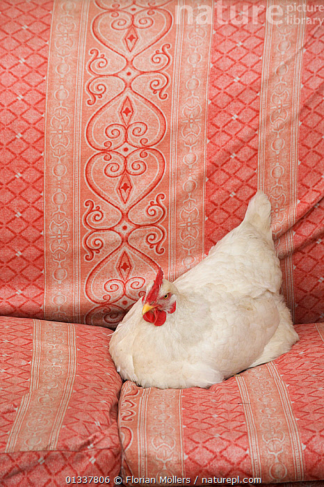 Domestic chicken, hen, resting on couch outside a house, Zhouzhi village, Qinling Mountains, Shaanxi, China, March 2006  ,  ASIA,BIRDS,CHINA,HEN,POULTRY,VERTICAL,WHITE  ,  Florian Möllers