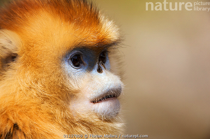 Golden snub-nosed monkey (Rhinopithecus roxellana qinlingensis) female, portrait, Zhouzi Nature Reserve, Qinling mountains, Shaanxi, China. April 2006  ,  ASIA,CERCOPITHECIDEA,CHINA,CUTE,ENDANGERED,FEMALES,MAMMALS,MONKEYS,PORTRAITS,PRIMATES,RESERVE,SNUB NOSED MONKEYS,VERTEBRATES  ,  Florian Möllers