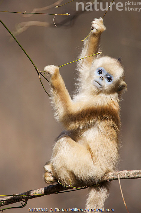 Golden snub-nosed monkey (Rhinopithecus roxellana qinlingensis) infant holding on to branches, Zhouzi Nature Reserve, Qinling mountains, Shaanxi, China. April 2006  ,  ASIA,BABIES,CERCOPITHECIDEA,CHINA,CUTE,ENDANGERED,MAMMALS,MONKEYS,PRIMATES,RESERVE,SNUB NOSED MONKEYS,VERTEBRATES,VERTICAL  ,  Florian Möllers