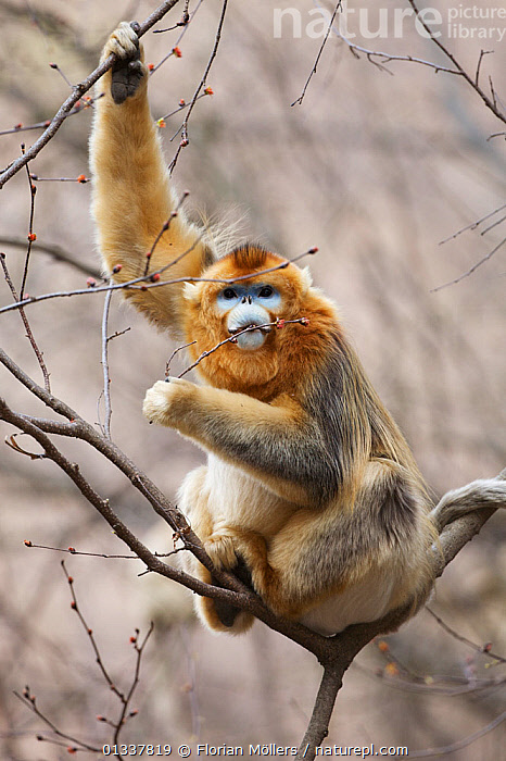 Golden snub-nosed monkey (Rhinopithecus roxellana qinlingensis) male feeding on tree buds, Zhouzi Nature Reserve, Qinling mountains, Shaanxi, China. April 2006  ,  ASIA,BEHAVIOUR,CERCOPITHECIDEA,CHINA,ENDANGERED,FEEDING,MALES,MAMMALS,MONKEYS,PRIMATES,RESERVE,SNUB NOSED MONKEYS,VERTEBRATES,VERTICAL  ,  Florian Möllers
