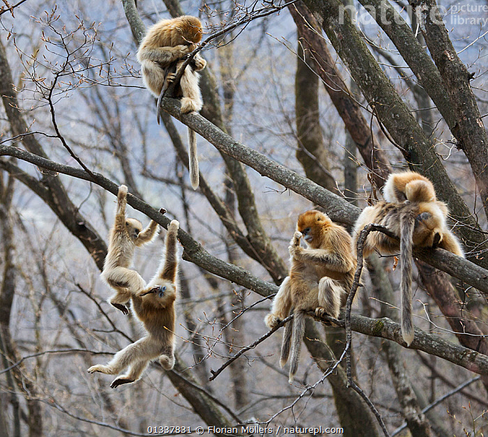 Golden snub-nosed monkey (Rhinopithecus roxellana qinlingensis) females, subadults and infants socialising in tree, Zhouzi Nature Reserve, Qinling mountains, Shaanxi, China. April 2006  ,  ADULTS,ASIA,BABIES,BEHAVIOUR,CERCOPITHECIDEA,CHINA,ENDANGERED,GROOMING,GROUPS,HABITAT,INTERACTION,JUVENILE,MAMMALS,MEDIUM GROUP,MONKEYS,PRIMATES,RESERVE,SNUB NOSED MONKEYS,SOCIAL BEHAVIOUR,TREES,VERTEBRATES,PLANTS,Hierarchy,Hierarchical,,Nature reclamation  ,  Florian Möllers