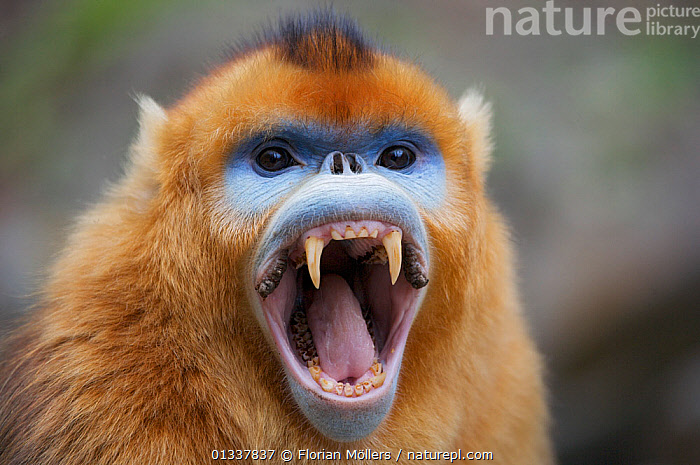 Golden snub-nosed monkey (Rhinopithecus roxellana qinlingensis) adult male yawning showing canine teeth, Zhouzi Nature Reserve, Qinling mountains, Shaanxi, China. April 2006  ,  ASIA,BEHAVIOUR,CERCOPITHECIDEA,CHINA,ENDANGERED,EXPRESSIONS,MALES,MAMMALS,MONKEYS,MOUTHS,PRIMATES,RESERVE,SNUB NOSED MONKEYS,TEETH,VERTEBRATES,YAWNING  ,  Florian Möllers