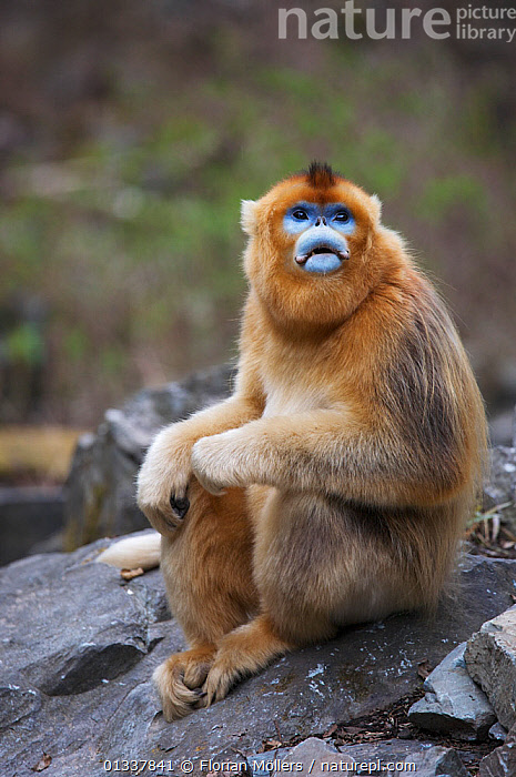 Golden snub-nosed monkey (Rhinopithecus roxellana qinlingensis) adult male sitting on rock, Zhouzi Nature Reserve, Qinling mountains, Shaanxi, China. April 2006  ,  ASIA,CERCOPITHECIDEA,CHINA,ENDANGERED,MALES,MAMMALS,MONKEYS,PORTRAILS,PRIMATES,RESERVE,SITTING,SNUB NOSED MONKEYS,VERTEBRATES,VERTICAL  ,  Florian Möllers