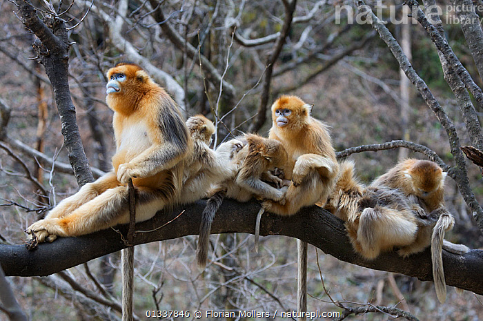 Golden snub-nosed monkey (Rhinopithecus roxellana qinlingensis) family group / harem resting / grooming in a tree, Zhouzi Nature Reserve, Qinling mountains, Shaanxi, China. April 2006  ,  ASIA,BABIES,CERCOPITHECIDEA,CHINA,ENDANGERED,FAMILIES,GROOMING,GROUPS,HABITAT,MAMMALS,MEDIUM GROUP,MONKEYS,PRIMATES,RESERVE,RESTING,SNUB NOSED MONKEYS,SOCIAL BEHAVIOUR,TREES,VERTEBRATES,PLANTS,Hierarchy,Hierarchical,,Nature reclamation  ,  Florian Möllers