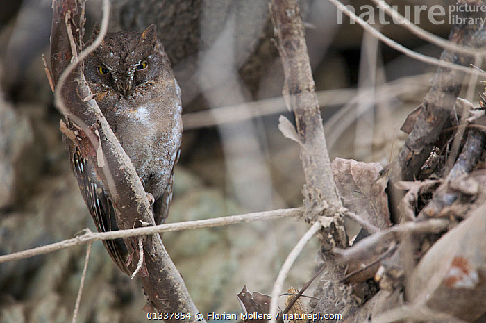 Oriental Scops owl (Otus sunia), Zhouzi Nature Reserve, Qinling mountains, Shaanxi, China. April  ,  ASIA,BIRDS,BIRDS OF PREY,CAMOUFLAGE,CHINA,OWLS,RESERVE,VERTEBRATES,Raptor  ,  Florian Möllers