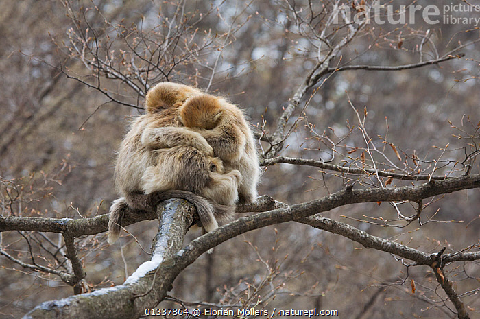 Golden snub-nosed monkey (Rhinopithecus roxellana qinlingensis) infants grooming / resting in a tree, Zhouzhi Nature Reserve, Qinling mountains, Shaanxi, China, April 2006  ,  ASIA,CERCOPITHECIDEA,CHINA,CUDDLING,ENDANGERED,GROOMING,GROUPS,LOW ANGLE SHOT,MAMMALS,MONKEYS,PRIMATES,RESERVE,SMALL GROUP,SNUB NOSED MONKEYS,VERTEBRATES  ,  Florian Möllers