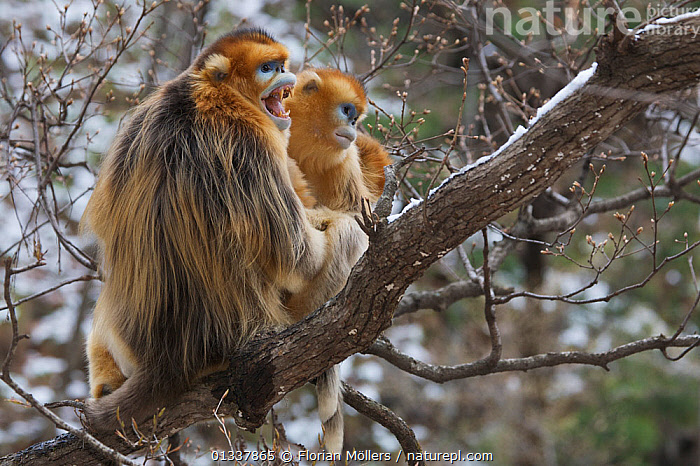 Golden snub-nosed monkey (Rhinopithecus roxellana qinlingensis) adult male, female and offspring in a tree, Zhouzhi Nature Reserve, Qinling mountains, Shaanxi, China, April 2006  ,  ASIA,BABIES,BEHAVIOUR,CERCOPITHECIDEA,CHINA,ENDANGERED,EXPRESSIONS,FAMILIES,MALE FEMALE PAIR,MALES,MAMMALS,MONKEYS,PRIMATES,RESERVE,SNUB NOSED MONKEYS,TEETH,VERTEBRATES  ,  Florian Möllers