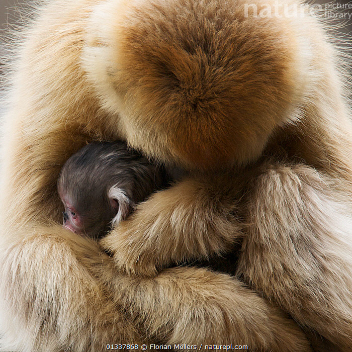 Golden snub-nosed monkey (Rhinopithecus roxellana qinlingensis) female with newborn in tree, Zhouzhi Nature Reserve, Qinling mountains, Shaanxi, China, April 2006  ,  AFFECTIONATE,ASIA,BABIES,CERCOPITHECIDEA,CHINA,CUDDLING,CUTE,ENDANGERED,FAMILIES,MAMMALS,MONKEYS,MOTHER BABY,PRIMATES,RESERVE,SNUB NOSED MONKEYS,VERTEBRATES  ,  Florian Möllers