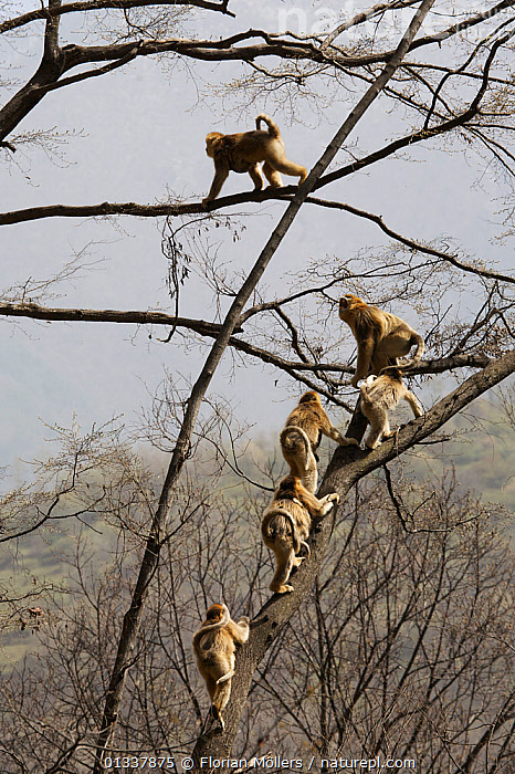 Golden snub-nosed monkey (Rhinopithecus roxellana qinlingensis) family group / harem moving through trees, Zhouzhi Nature Reserve, Qinling mountains, Shaanxi, China, April 2006  ,  ASIA,BEHAVIOUR,CERCOPITHECIDEA,CHINA,CLIMBING,ENDANGERED,GROUPS,MAMMALS,MEDIUM GROUP,MONKEYS,PRIMATES,RESERVE,SNUB NOSED MONKEYS,TREES,VERTEBRATES,VERTICAL,PLANTS,Hierarchy,Hierarchical,,Nature reclamation  ,  Florian Möllers