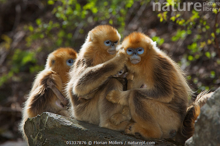 Golden snub-nosed monkey (Rhinopithecus roxellana qinlingensis) females grooming each other, Zhouzhi Nature Reserve, Qinling mountains, Shaanxi, China, April 2006  ,  ASIA,BEHAVIOUR,CERCOPITHECIDEA,CHINA,ENDANGERED,FEMALES,GROOMING,GROUPS,INTERACTION,MAMMALS,MONKEYS,PRIMATES,RESERVE,SMALL GROUP,SNUB NOSED MONKEYS,VERTEBRATES  ,  Florian Möllers