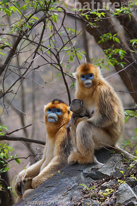 Golden snub-nosed monkey (Rhinopithecus roxellana qinlingensis) female with newborn and adult male, Zhouzhi Nature Reserve, Qinling mountains, Shaanxi, China, April 2006  ,  ASIA,BABIES,CERCOPITHECIDEA,CHINA,ENDANGERED,FAMILIES,MALE FEMALE PAIR,MAMMALS,MONKEYS,MOTHER BABY,PORTRAITS,PRIMATES,RESERVE,SNUB NOSED MONKEYS,VERTEBRATES,VERTICAL  ,  Florian Möllers